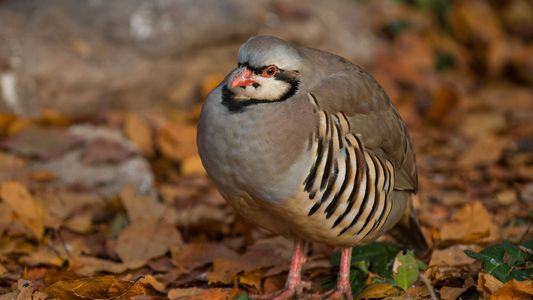 Do Partridges Really Live in Pear Trees?