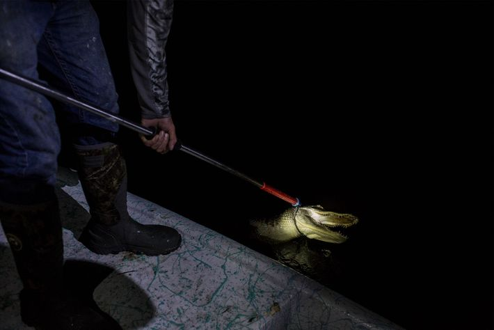 A snare pole is used to secure a six-foot alligator while a fishing hook is removed ...