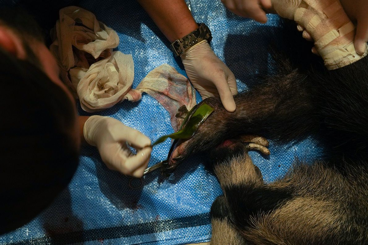 Veterinarians at the centre treat an anteater, named Valentina, whose legs were badly burned. Here, they ...