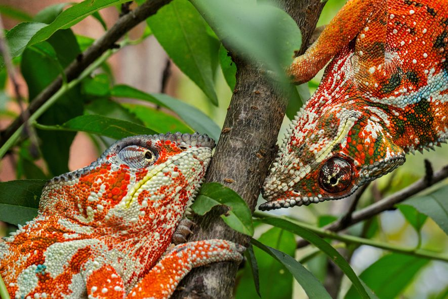 Two male panther chameleons show off bold, orange colouring, which communicates aggression.