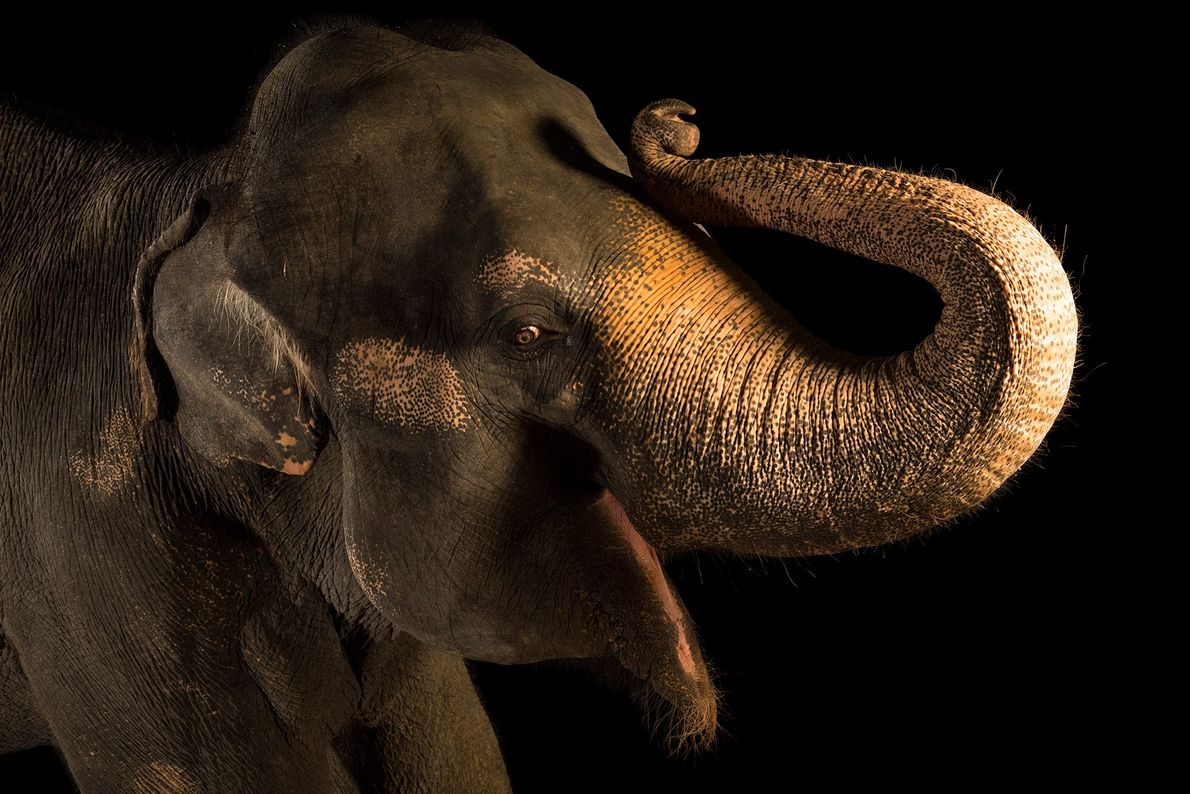 Asian elephants are listed as endangered on the IUCN Red List, threatened by habitat loss and ...