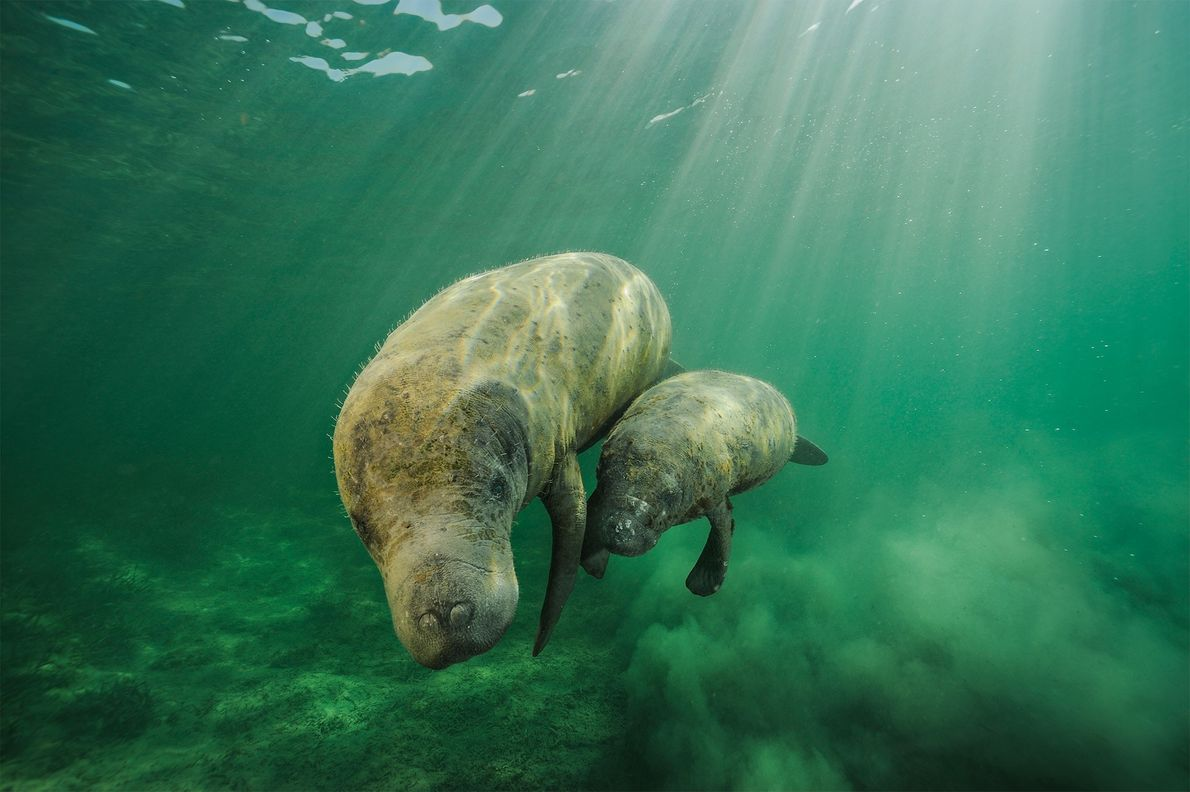 A manatee mother and calf browse along Swallow Cay, Belize.