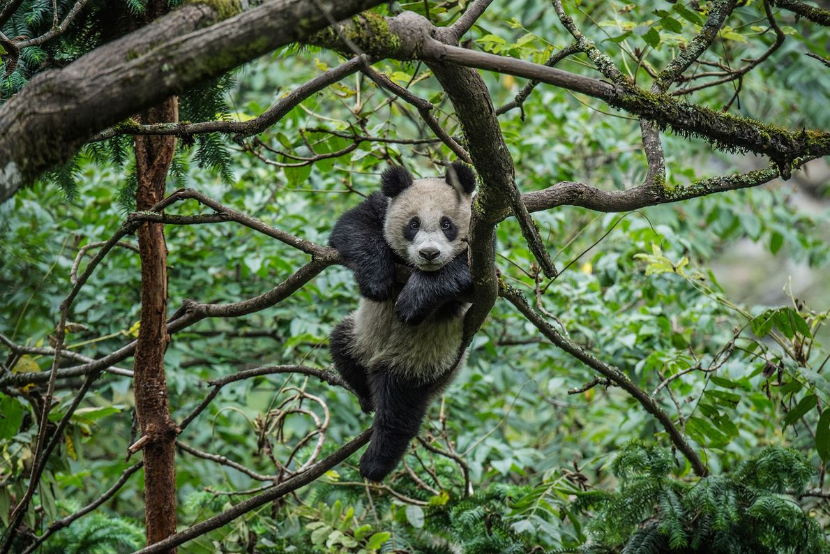 A giant panda plays in the treetops inside an enclosure at the Wolong Giant Panda Research ...