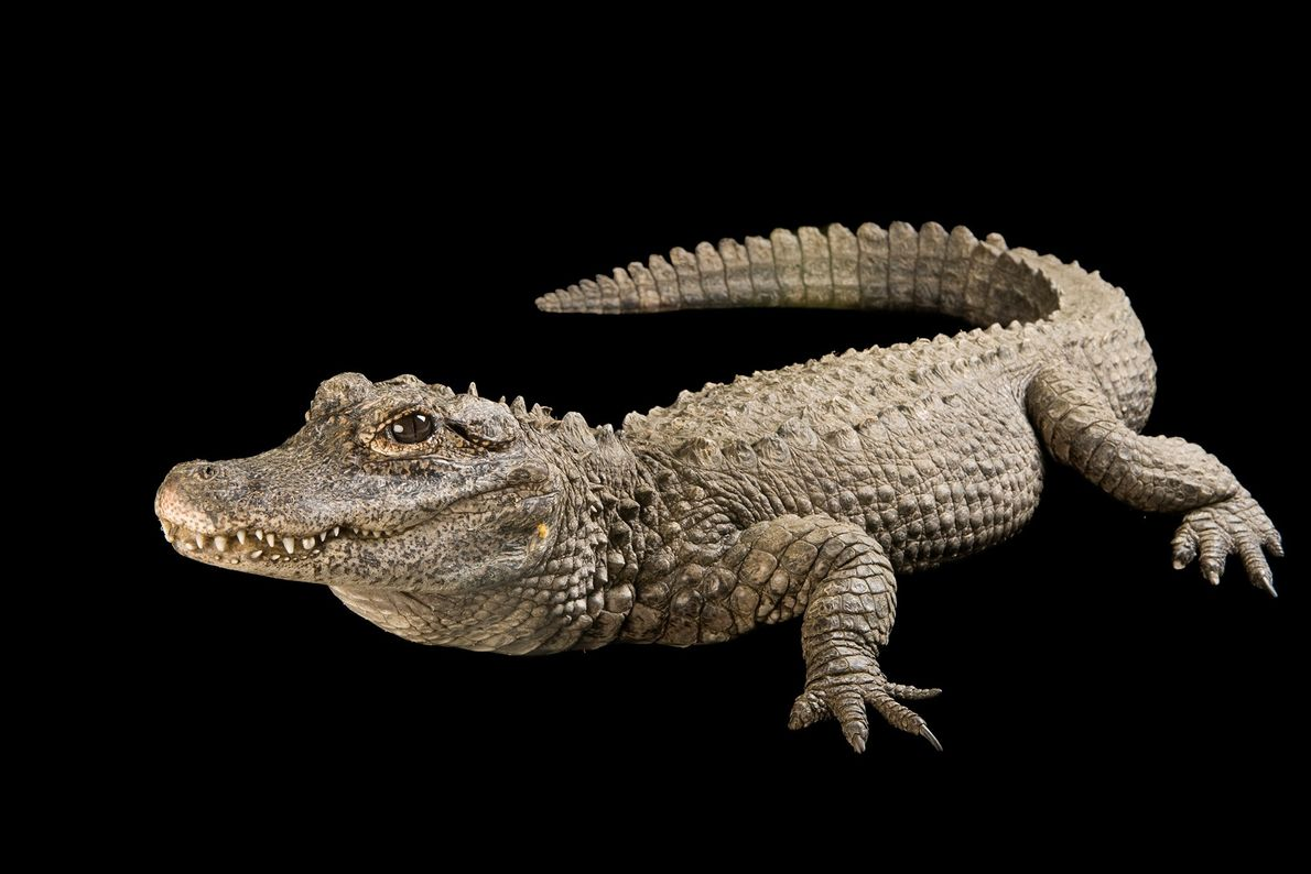 A critically endangered Chinese alligator (Alligator sinensis) in Los Angeles, California.