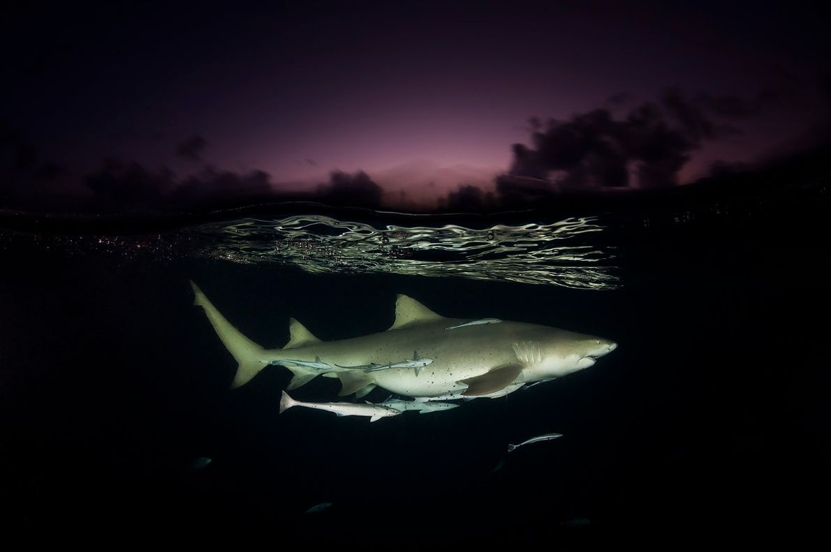 A lemon shark on patrol just below surface in the Bahamas' shark sanctuary.