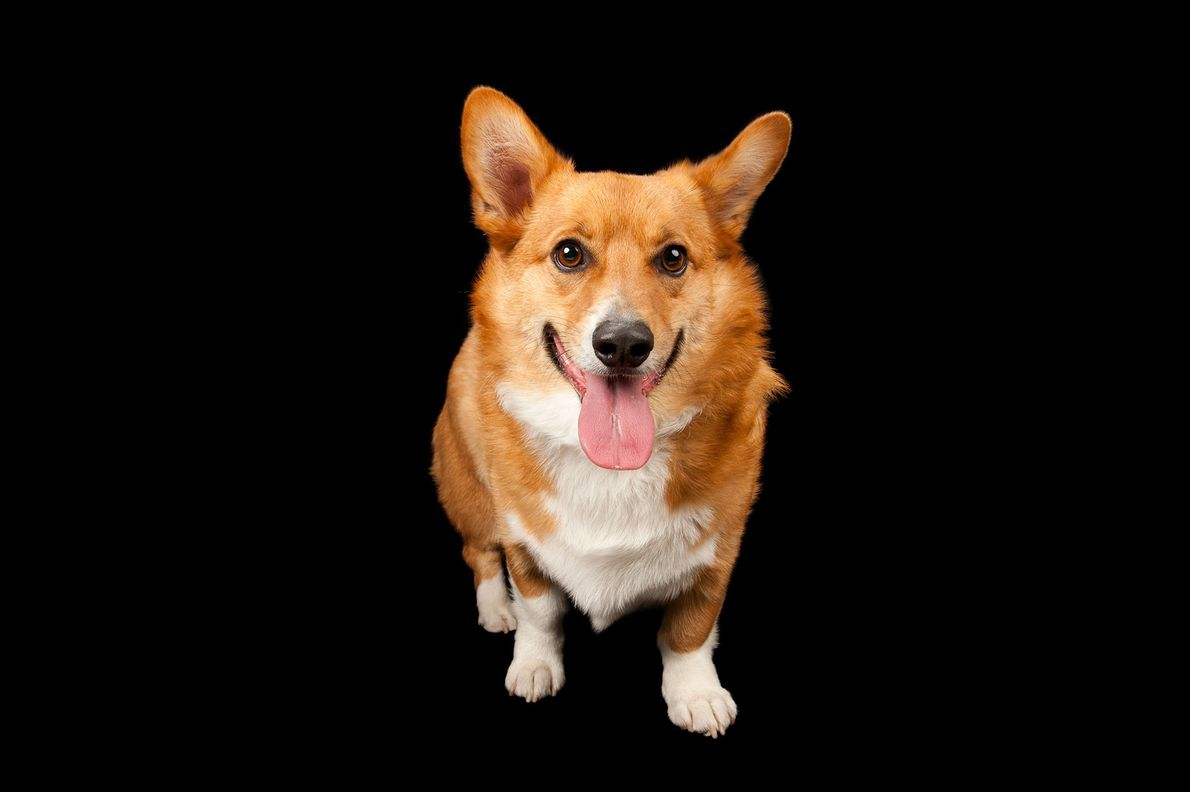 A Welsh corgi.