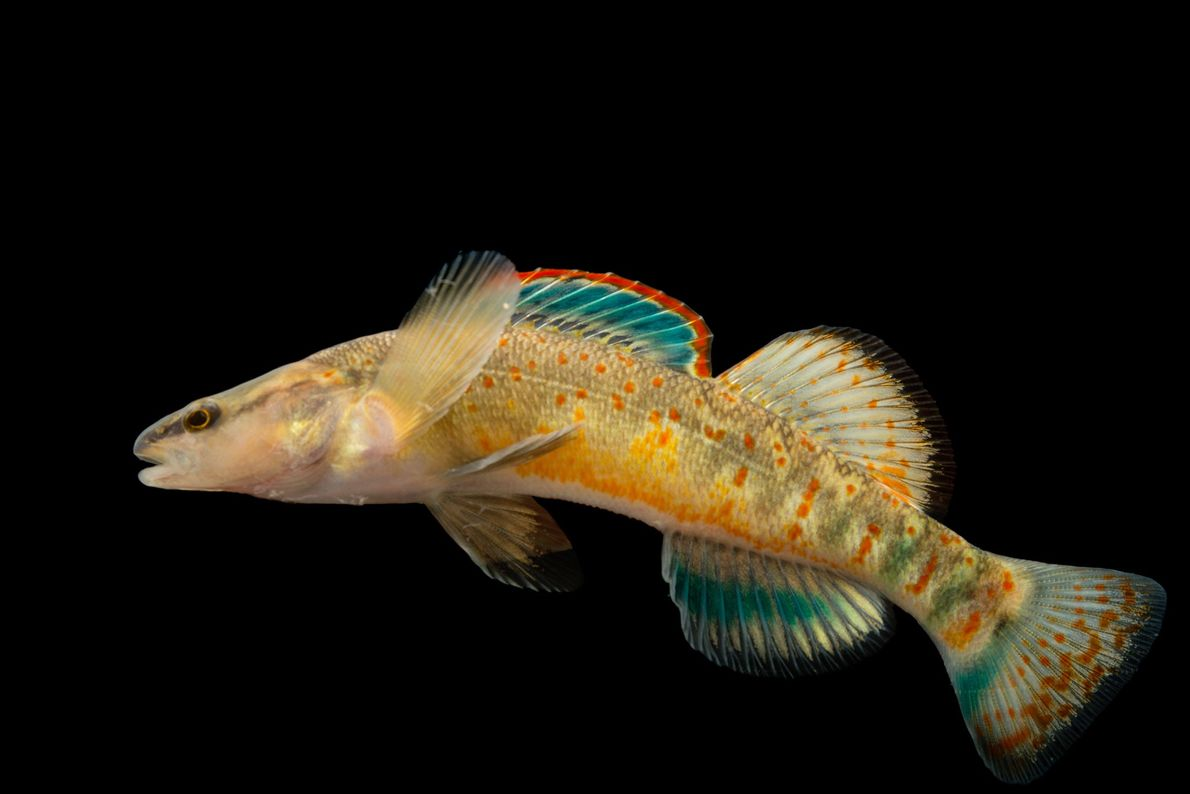 A Kentucky Arrow Darter, Etheostoma spilotum, at Conservation Fisheries.