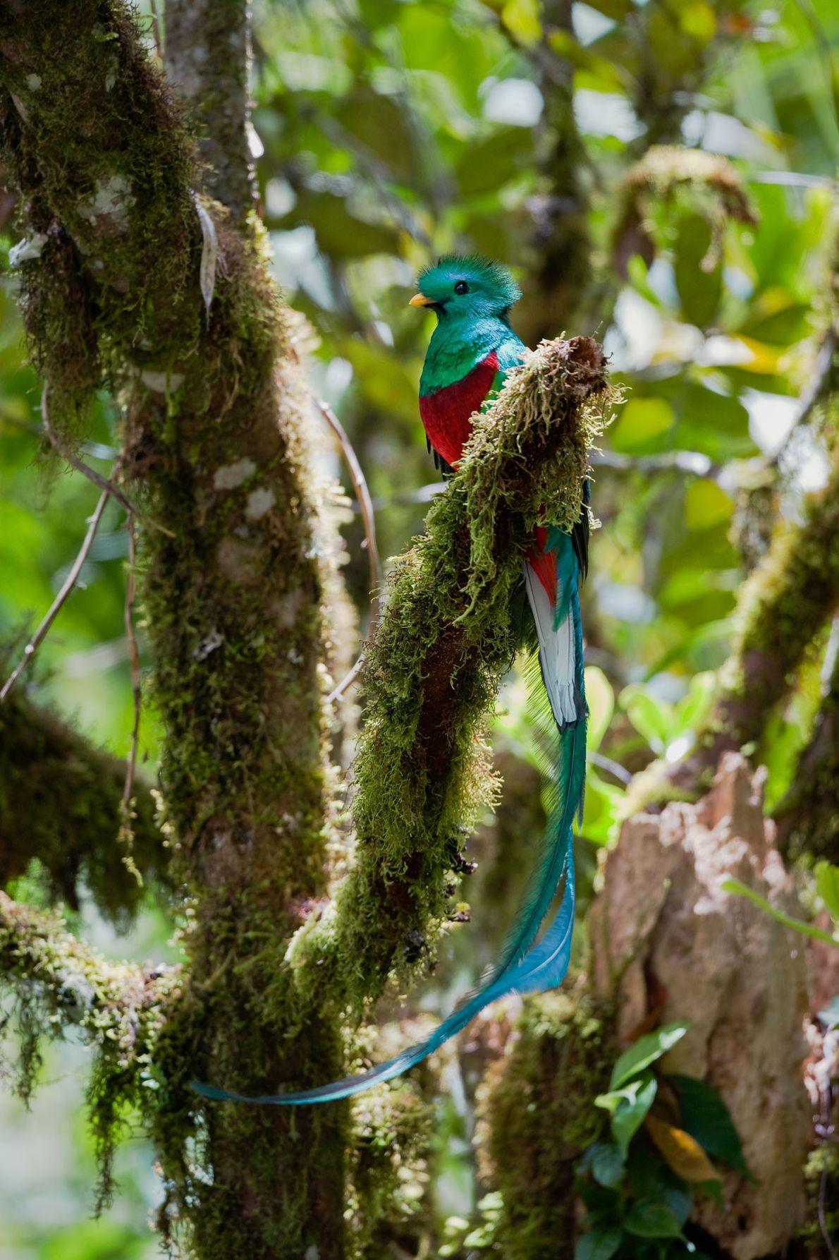 A male resplendent quetzal.