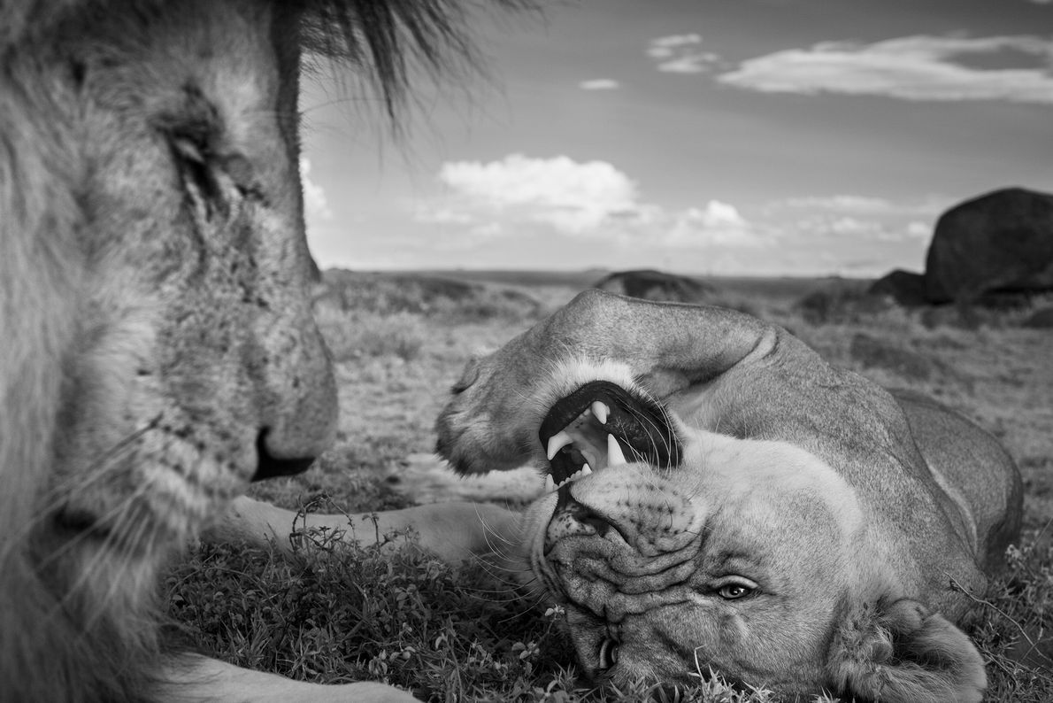An adult male lion, C-Boy, and a Vumbi female relax between matings.