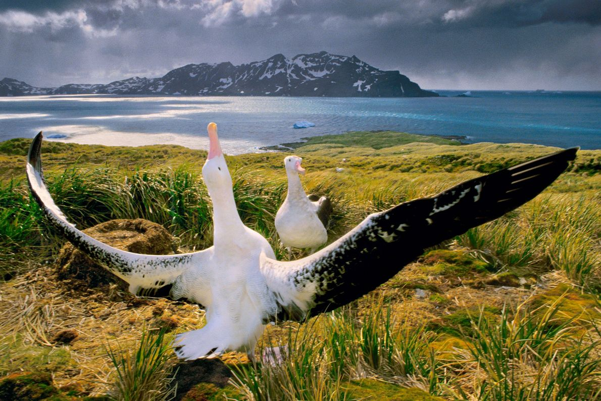 Albatrosses court each other on South Georgia Island, in the southern Atlantic Ocean.