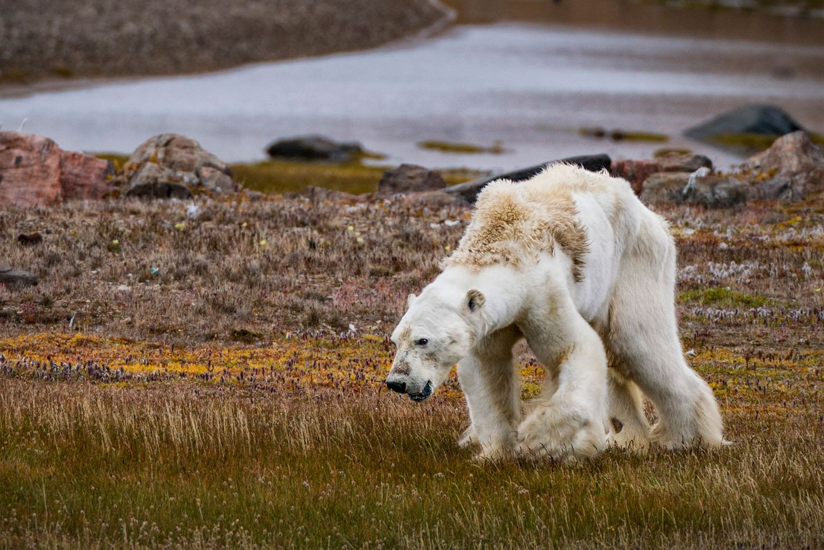 Climate change is impacting flora and fauna across the Arctic. Although scientists don't know specifically what ...