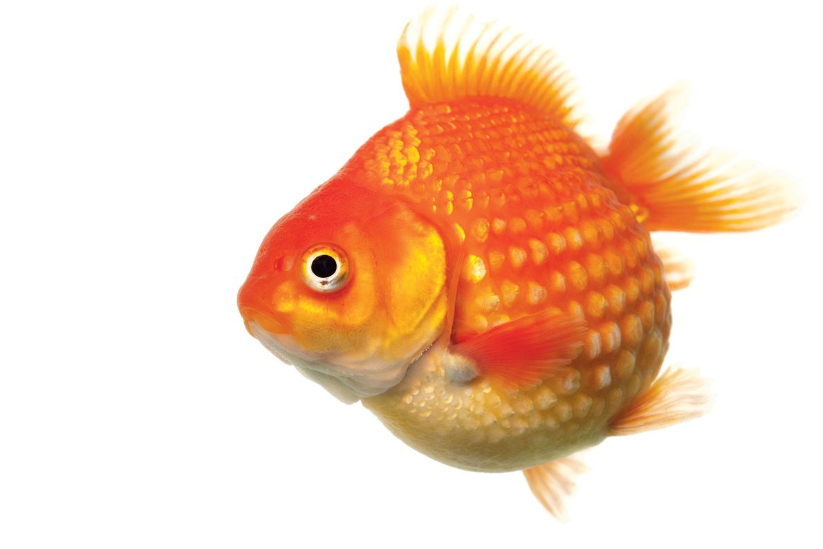 Pearlscale goldfish have round bodies and beadlike scales.