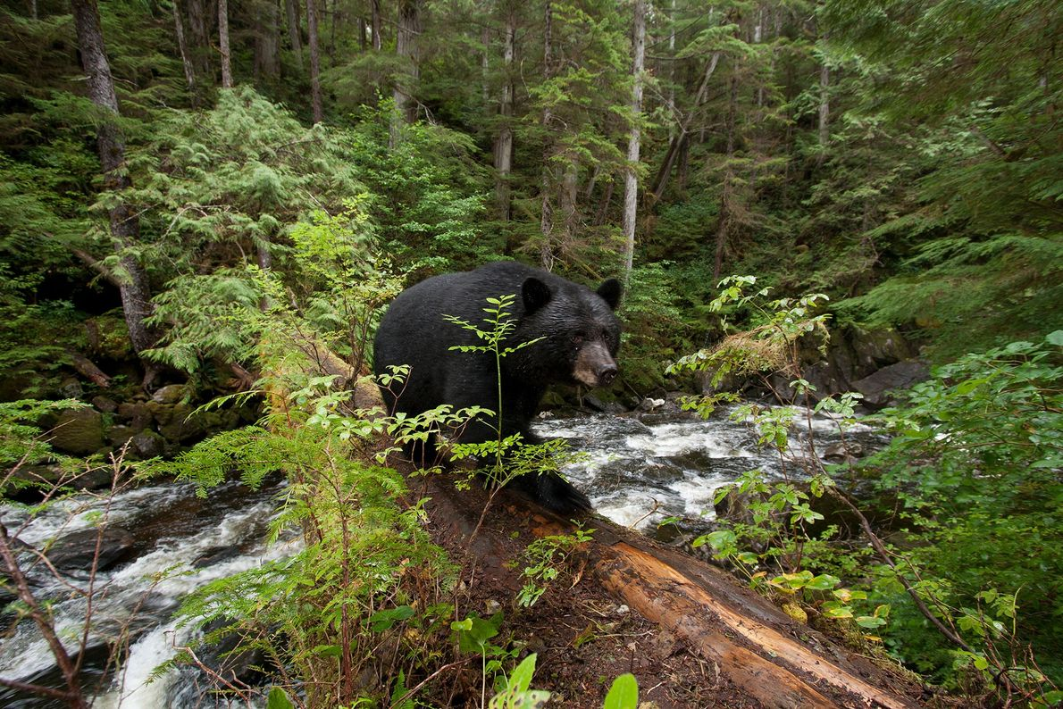 A genetic mutation in some black bears gives Kermode bears their white fur. A 2012 study ...
