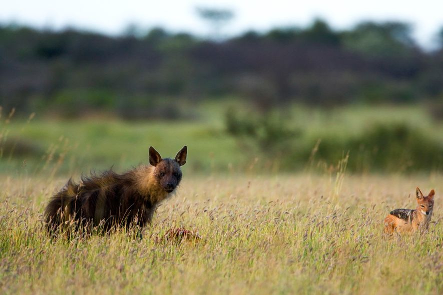 A brown hyena feeds on a carcass at the Khama Rhino Sanctuary in Botswana.