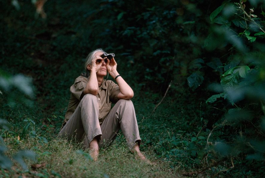 Jane Goodall no longer spends much time at Gombe Stream National Park because of her globe-trotting conservation efforts. When she visits, she still finds great joy in watching the chimps.