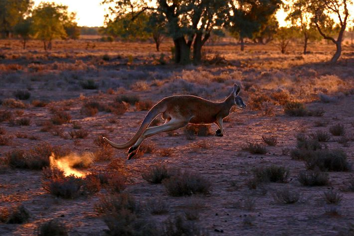 Kangaroo populations are very sensitive to droughts. While some scientists say this means their populations are ...