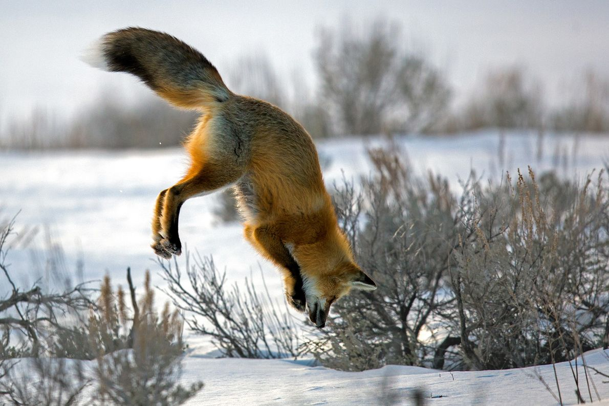 """A red fox is hunting voles under the snow, a behaviour commonly referred to as """"mousing""""."""