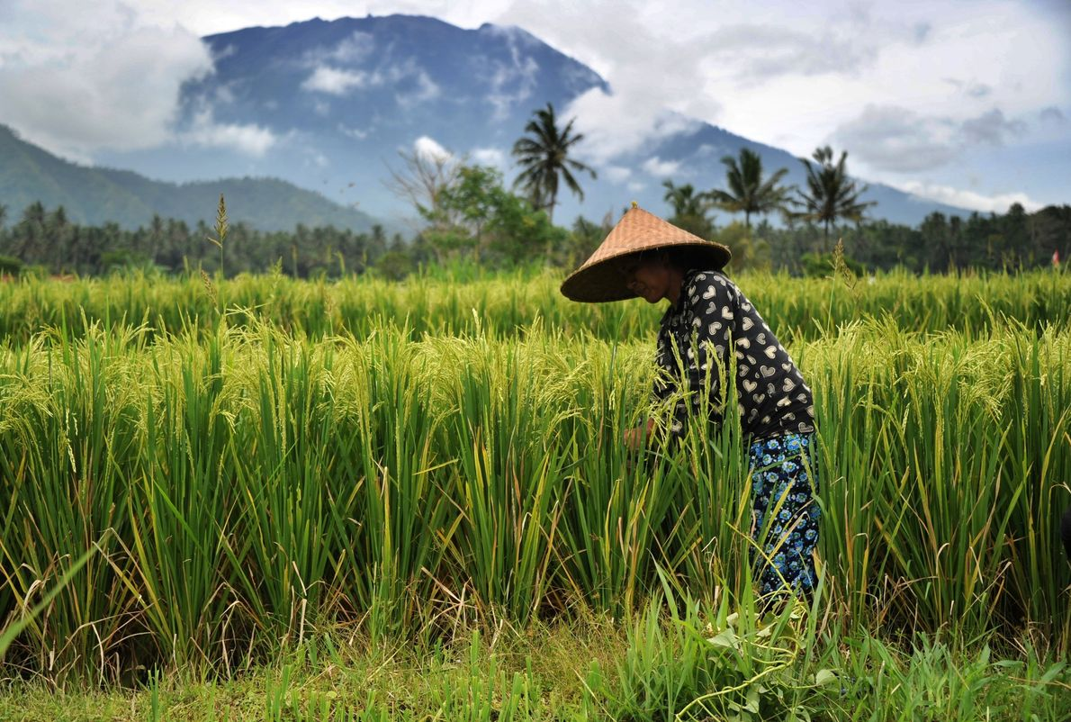 A farmer works in a field as Mount Agung looms in the background on Friday.