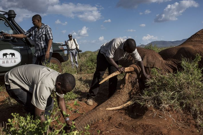 Team members from the Kenya Wildlife Service and two conservation organisations, Save the Elephants and the ...