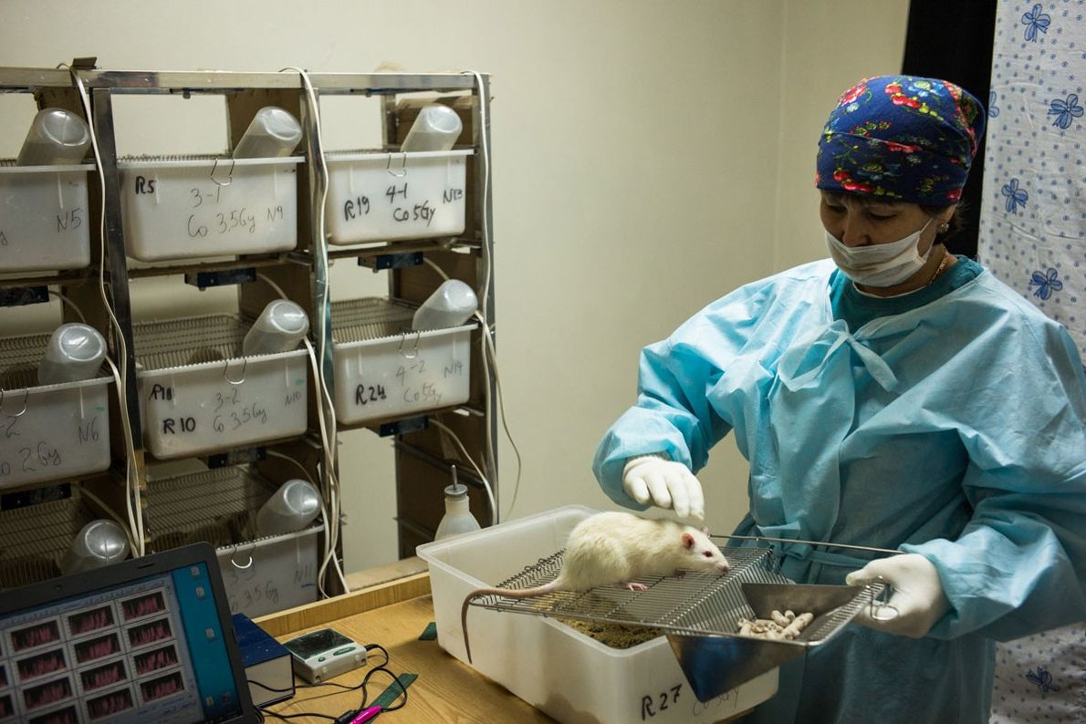 Ayman Norgazinova, 49, a lab worker, inspects a rat used for research testing in the State ...