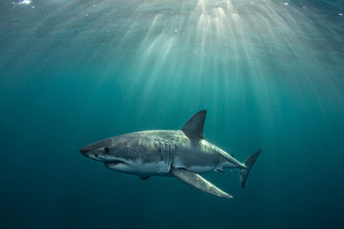 A great white shark swims off Seal Island, in South Africa. Great whites are long-living apex ...