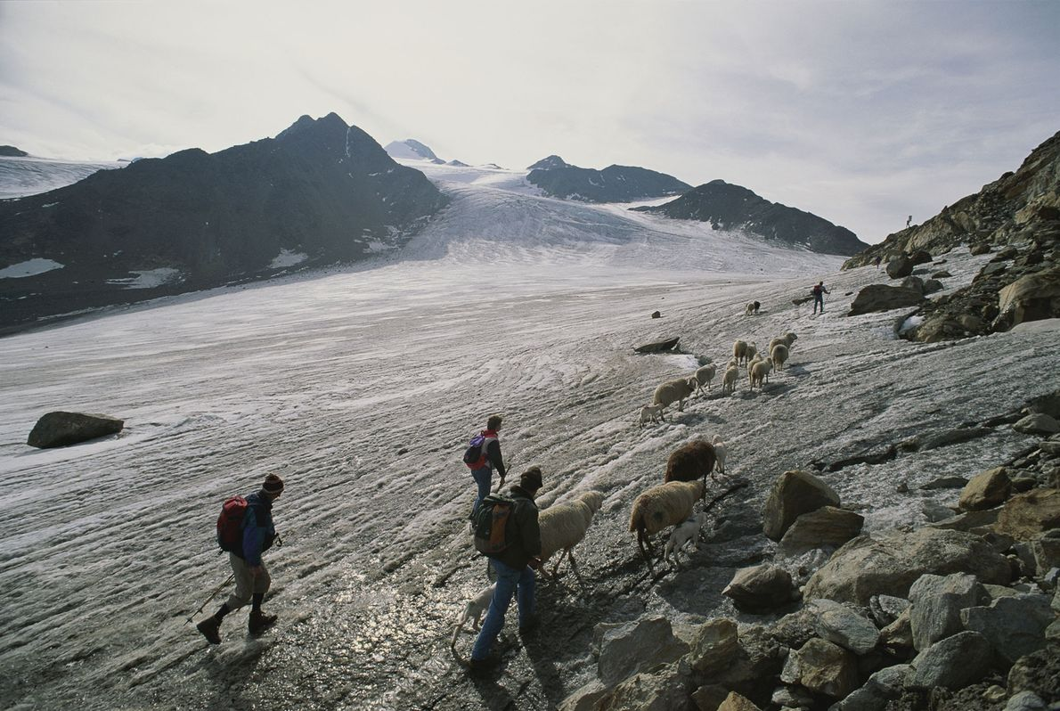 Modern shepherds cross the Alpine pass where the Iceman's remains were found.