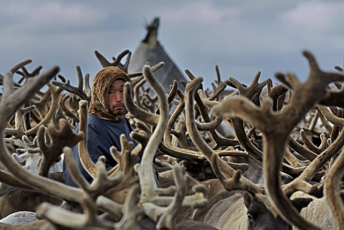 """""""Every day the Nenets with their dogs drive the herd to 'filter out' the animals to ..."""