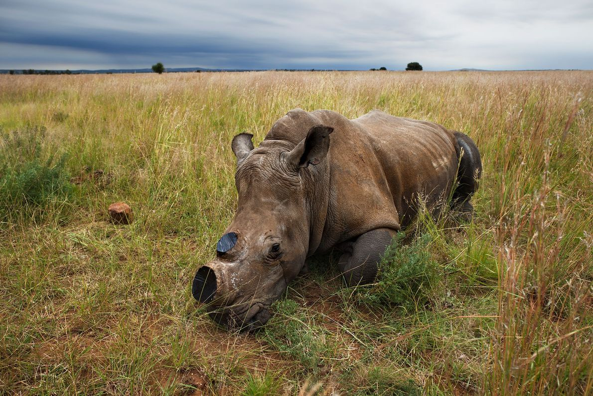 An anaesthetised white rhino cow is left to wake in a field after a dehorning procedure ...