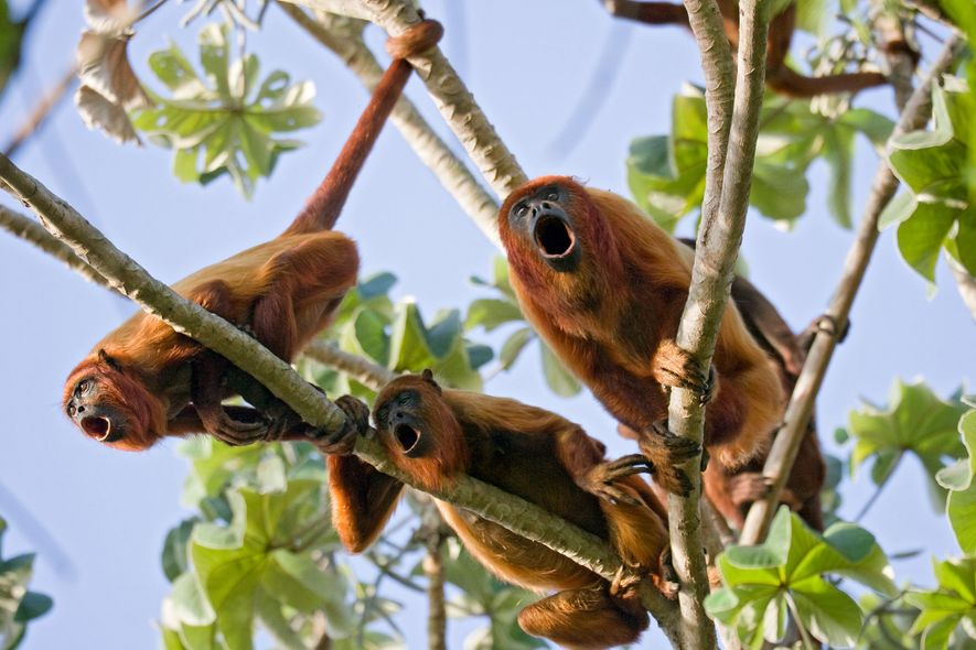 Like scarlet ibises, red howler monkeys aren't endangered, but they are frequently poached from Trinidad's forests. ...