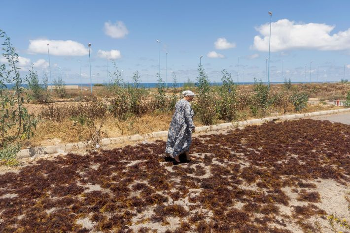 In a familiar scene along the Moroccan coast, an elderly woman spreads seaweed out to dry ...