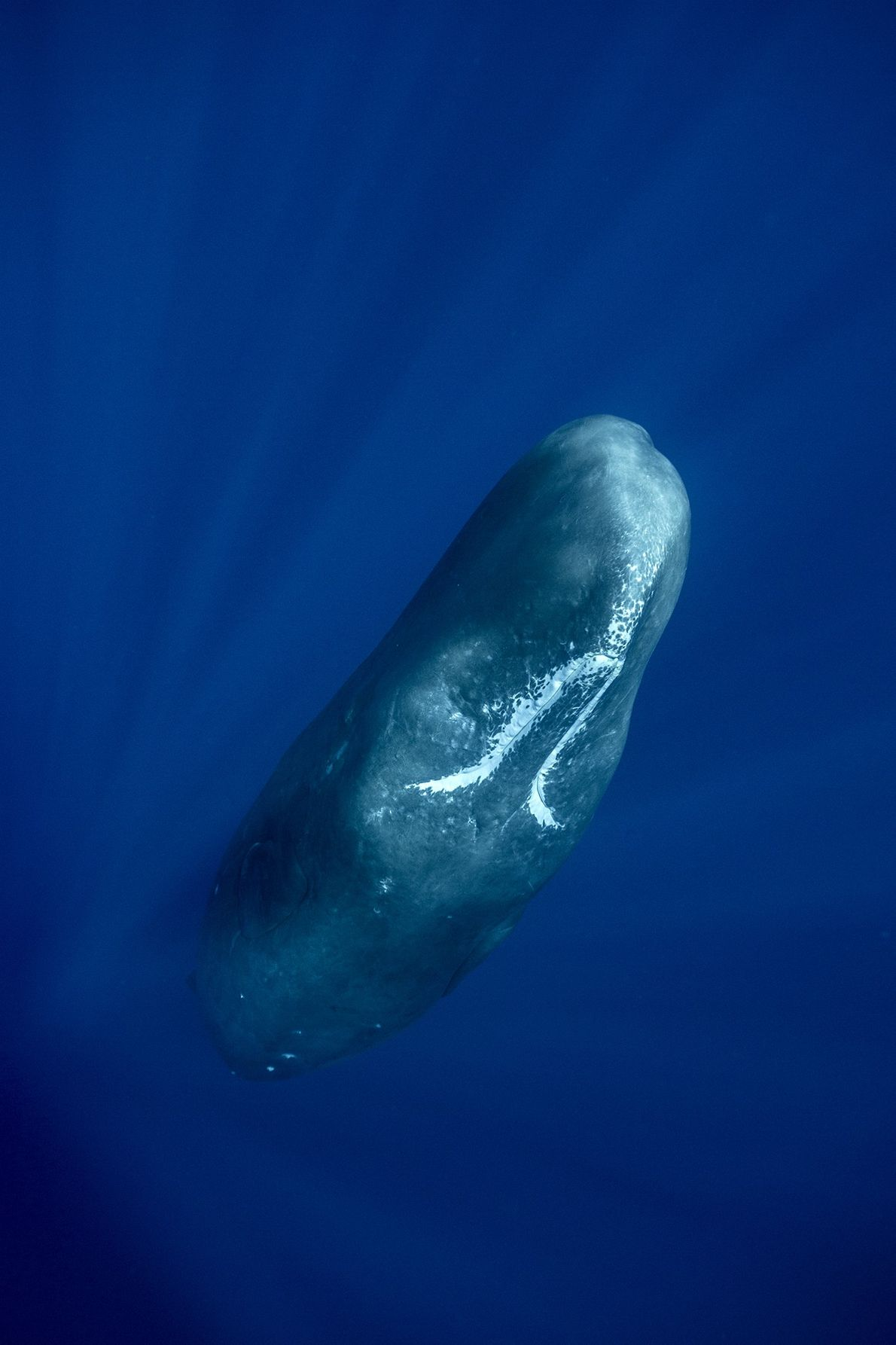 """Despite my presence, the sperm whale keep on sleeping,"" photographer Stephane Granzotto said."