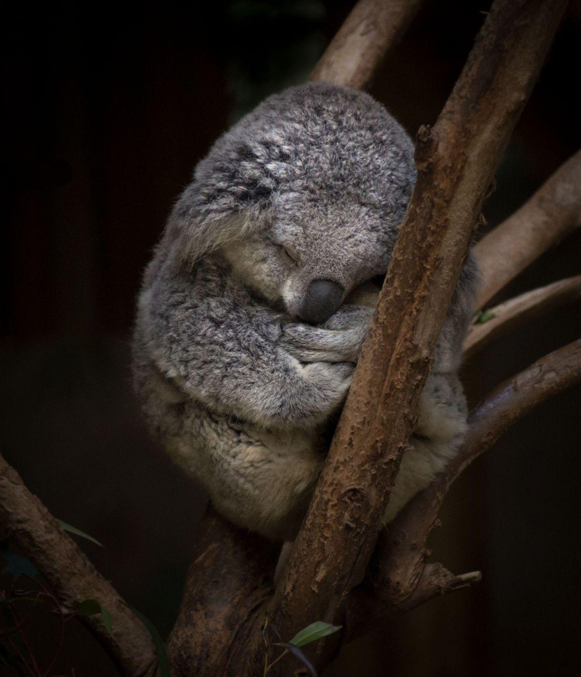 A Koala bear, photographed in Los Angeles, California.