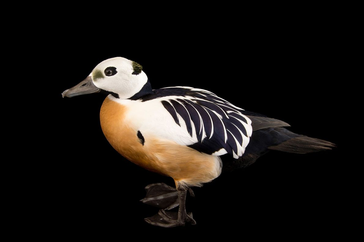 The Steller's eider, which breeds in the Arctic, has seen sharp population declines, perhaps due to ...