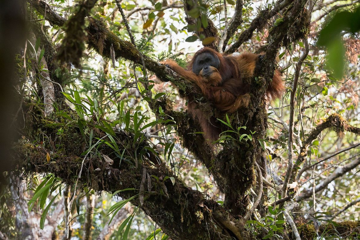 An adult male naps in a tree. There are about 800 Tapanuli orangutans on Earth, split ...