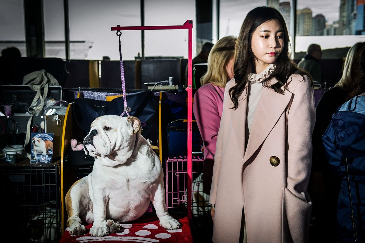 Demon, a three-year-old English Bulldog, stands next to his owner, Bella Koo from Korea. Last year, ...
