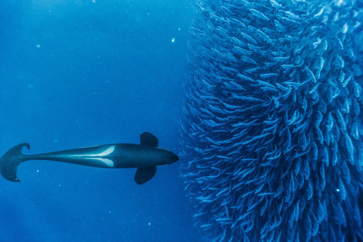 An, also known as a killer whale, herds herring into a tight group near Andenes, Norway. ...