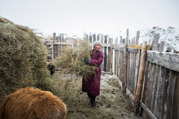 Enkhjargal gathers hay for her animals outside the home she shares with her husband and children ...