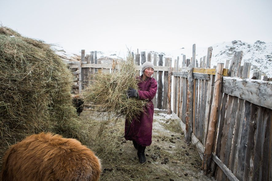 Enkhjargal gathers hay for her animals outside the home she shares with her husband and children in Uvs Provence.