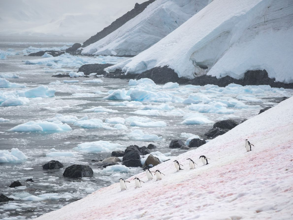 On a subtly coloured snow field, chinstrap penguins make their way to and from their nests ...