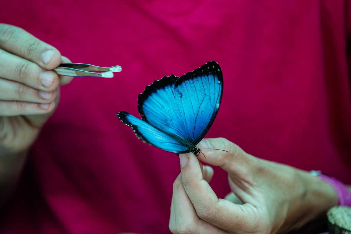 Carolina Velez, an entomologist on the expedition, examines a brilliant blue morpho butterfly known as 'Morpho ...