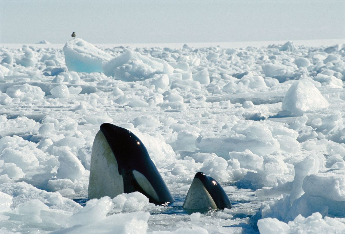 An orca mother and calf find a spot to breathe between ice in the McMurdo Sound ...