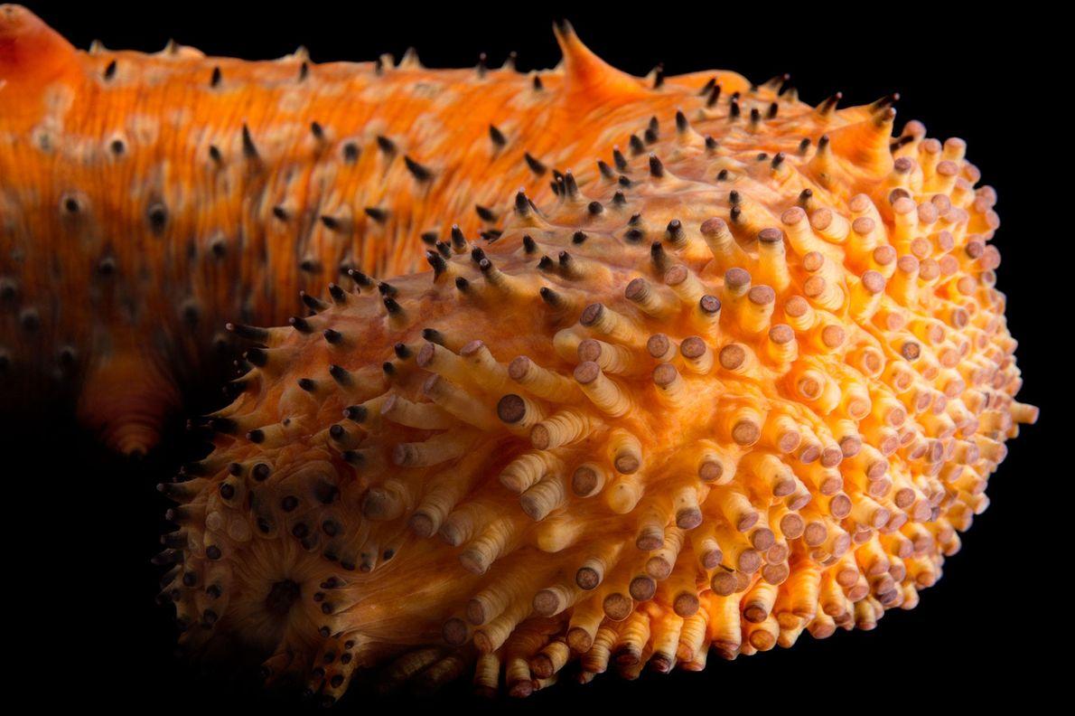 A warty sea cucumber (Parastichopus parvimensis) at the Monterey Bay Aquarium.