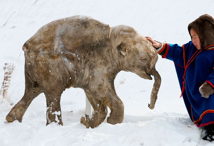 Frozen for 40,000 years, this mammoth calf was discovered in 2007 by reindeer herders in Siberia. ...