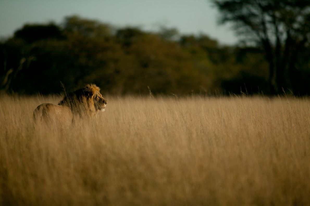 Lions in Africa have dropped in number from 200,000 to some 30,000 during the past century. ...