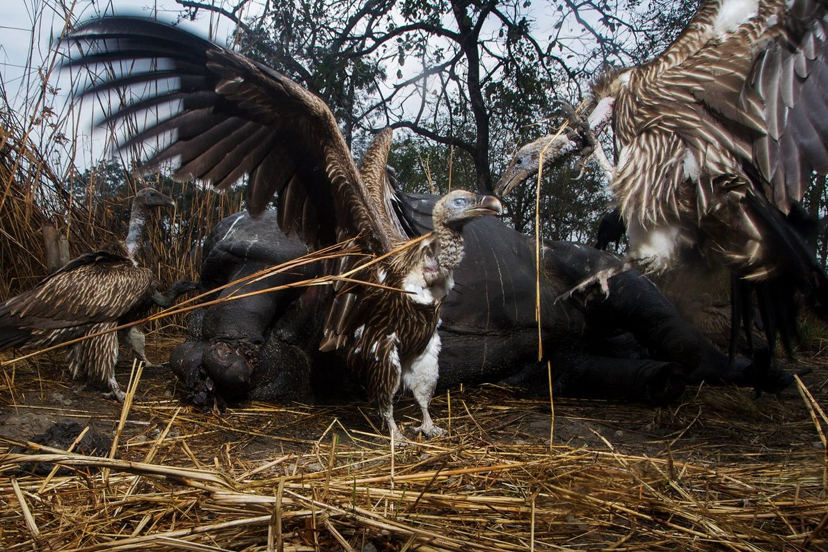 Vultures - Indian white-backed vultures swarm a rhinoceros carcass in India. Vultures across Asia are declining as a result of feeding on livestock carcasses that contain the poisonous veterinary drug, diclofenac - Photograph by Steve Winter, National Geographic Creative
