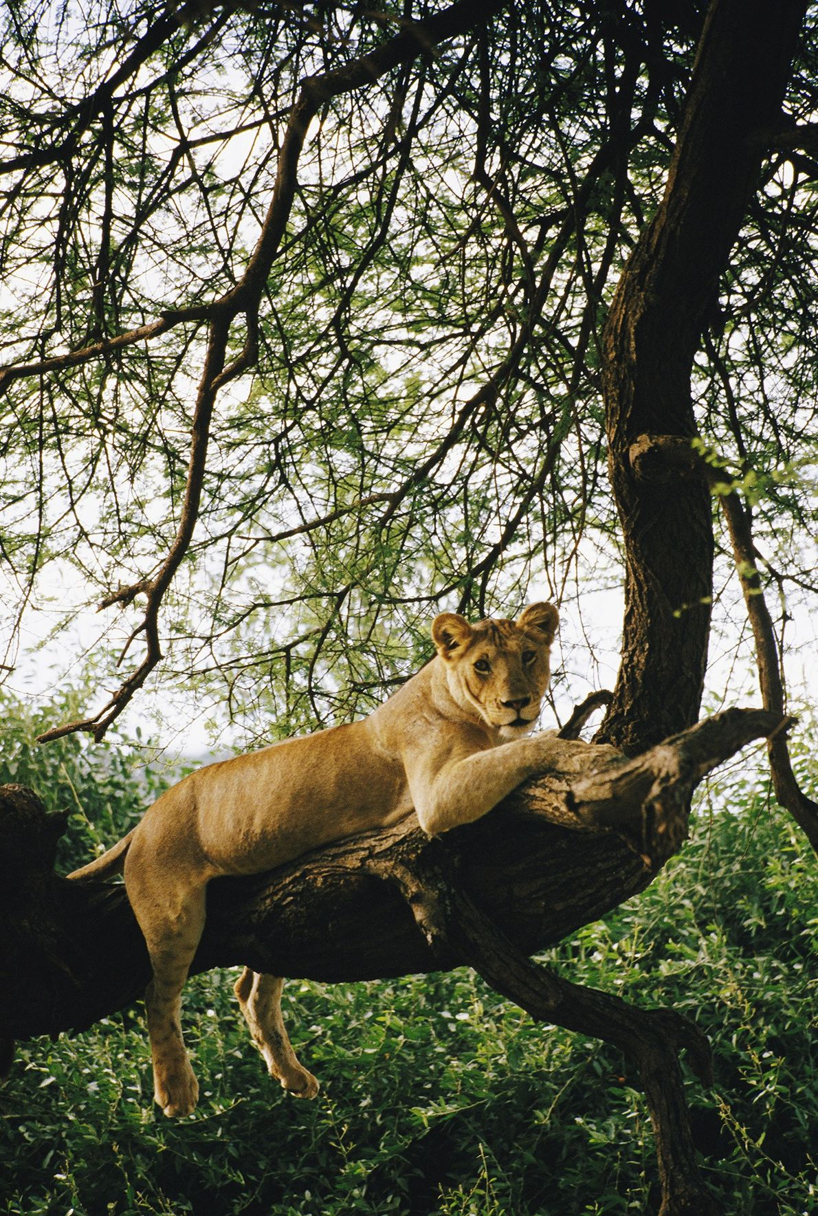 A lion relaxes on a tree branch at Lake Manyara National Park in northern Tanzania.