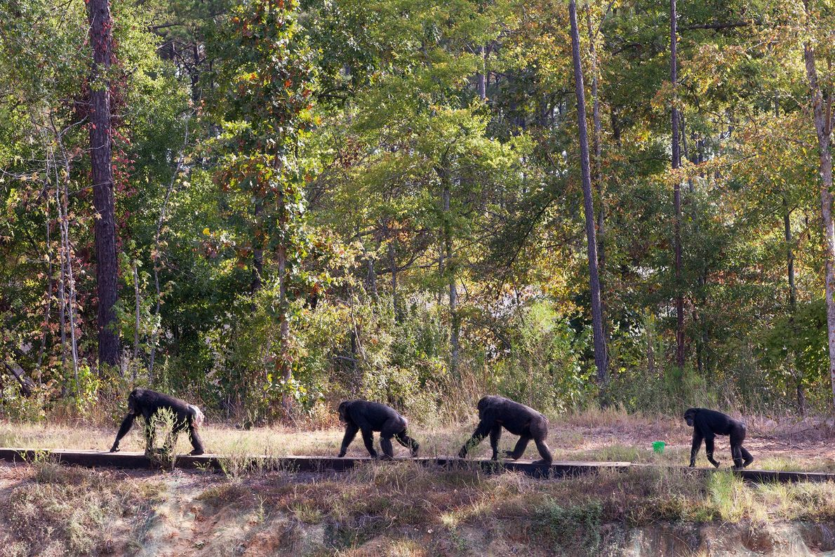 Walking the line, chimps move through their more than five acre enclosure at Chimp Haven.