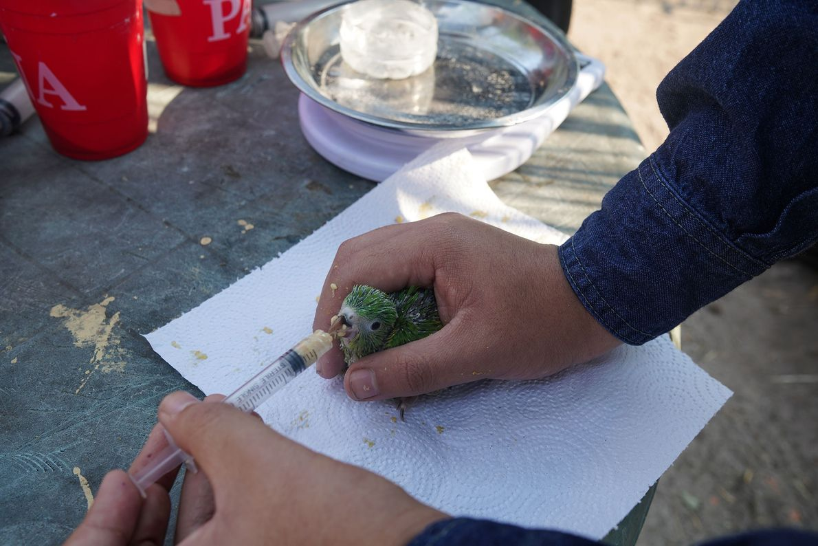 A volunteer feeds a young parakeet at the centre. Volunteers from Santa Cruz University and a ...
