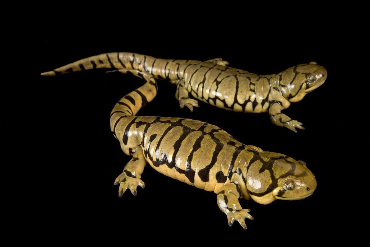 Blotched or banded tiger salamanders ('Ambystoma tigrinum melanostictum') at the National Mississippi River Museum and Aquarium.