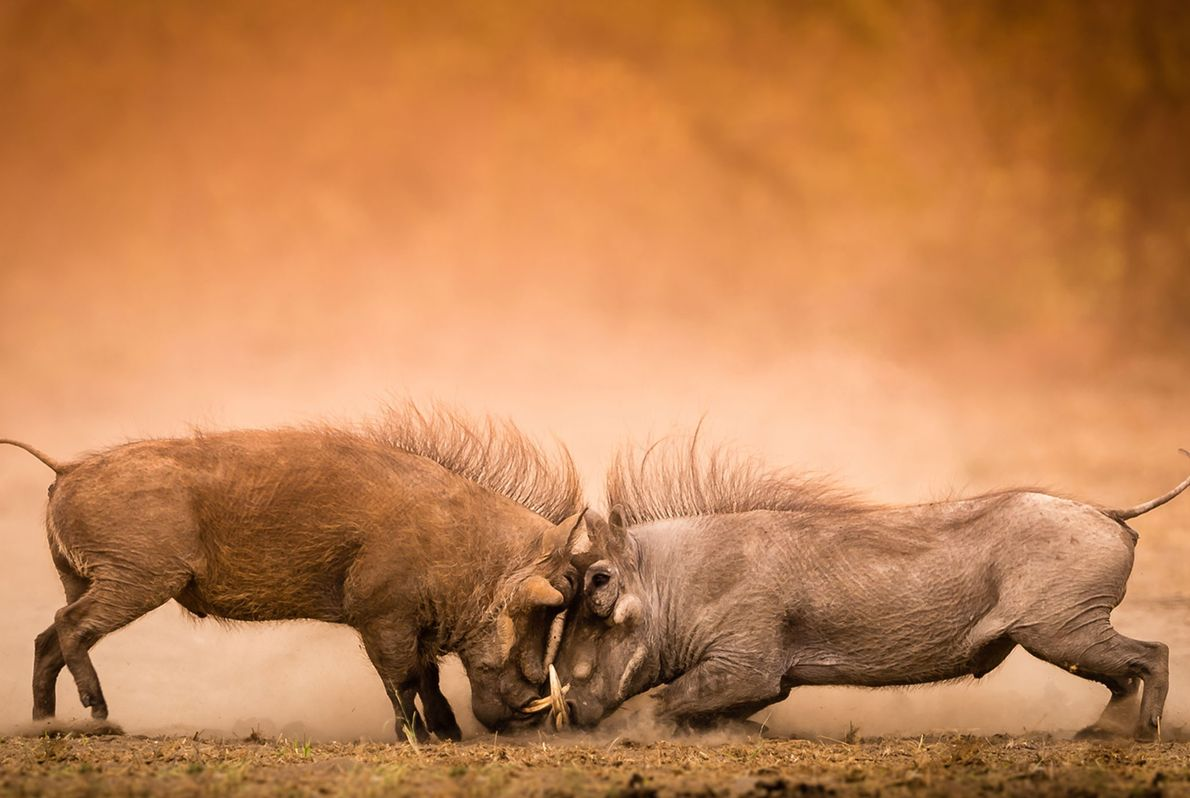 Warthogs tussle in South Africa's Kruger National Park.